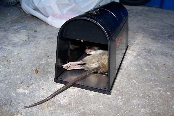 Капкана для крысы своими руками 639
